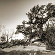 Ancient Live Oak Tree Art Print