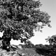 Ancient Oak, Bradgate Park Art Print