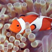 Anemone And Clown-fish Art Print
