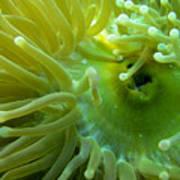 Anemone Shrimp2 Art Print