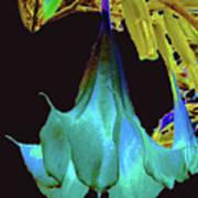 Angel's Trumpet Flower Art Print by Merton Allen