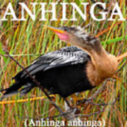 Anhinga The Swimming Bird Art Print