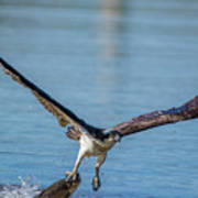 Animal - Bird - Osprey Catching A Fish Art Print