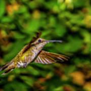 Anna Hummingbird  In Flight 2 Art Print