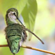 Anna's Hummingbird - Preening Art Print