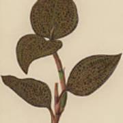 Anoectochilus Setaceus, Aurea Art Print