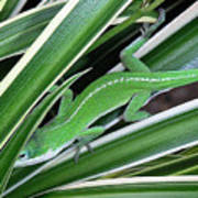 Anole Hiding In Spider Plant Print by Lucyna A M Green