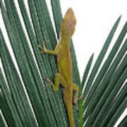 Anole With Palm - Curious Art Print