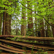Another Split Redwood Art Print