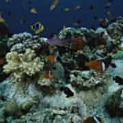Anthias Fish, Anemonefish And Basslets Art Print