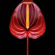 Anthurium Red Art Print