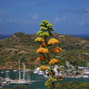 Antigua National Flower  Art Print