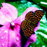Antillean Crescent Butterfly On Impatiens Art Print