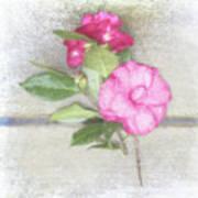Antique Camellias Square Art Print