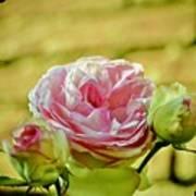 Antique Pink Rose Art Print