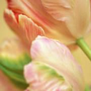 Antique Tulips Art Print