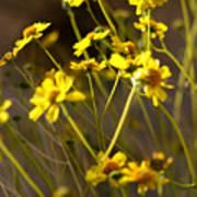 Anza Borrego Desert Sunflowers 1 Art Print