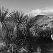Anza-borrego Yuccas Art Print
