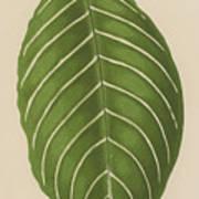 Aphelandra Leopoldii  Art Print