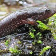 Appalachian Seal Salamander Art Print