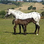 Appaloosa Mare And Foal Art Print