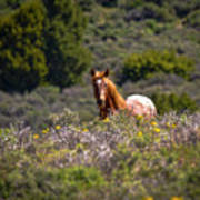 Appaloosa Mustang Horse Art Print