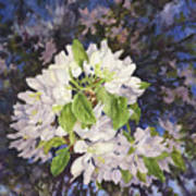Apple Blossoms At Dusk Art Print