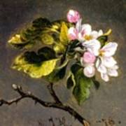 Apple Blossomss Art Print