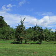 Apple Orchard At Vineyard Art Print