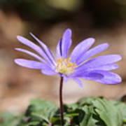 April Grecian Wind Flower  Art Print