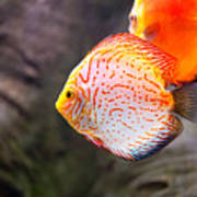 Aquarium Orange Spotted Fish Art Print