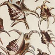 Aquatic Animals - Conch - Shells - Snails Art Print