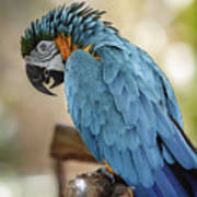 Ara Parrot Art Print