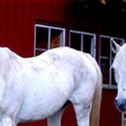 Arab Horses At Home, Behind Their Fence   Art Print