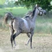 Arab Horse Art Print