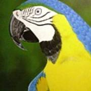 Arara Azul Art Print