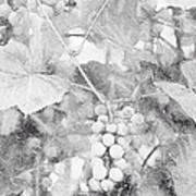 Arbor Grapes Sketch Art Print