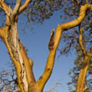Arbutus Tree At Roesland Art Print