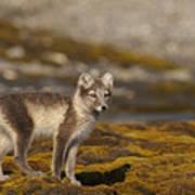 Arctic Fox In Tundra Art Print