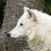 Arctic Wolf - On Watch Art Print