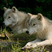 Arctic Wolf Pictures 1268 Art Print