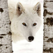 Arctic Wolf Seen Between Two Trees In Winter Art Print