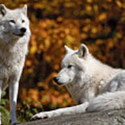 Arctic Wolves On Rocks Print by Michael Cummings