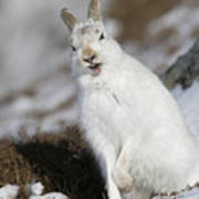 Are You Kidding? - Mountain Hare #14 Art Print