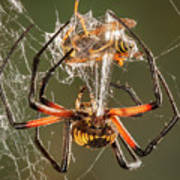 Argiope Spider Wrapping A Hornet Art Print