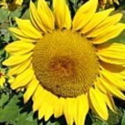 Arikara Sunflower Art Print