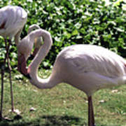 Arizona Flamingos Art Print