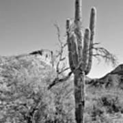 Arizona Saguaro Art Print