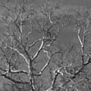 Arizona Sycamore Tree Filtered 022714 Art Print