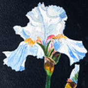 Arlene's Iris Art Print